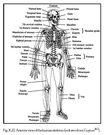 skeletal system essays and papers